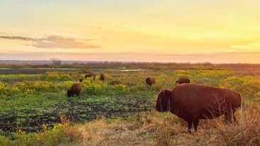 Bison Paynes Prairie
